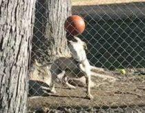 Šuo ar ruonis? - šunelis žongliruojantis kamuoliu