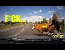 Karvė išbėga į kelią prieš automobilį