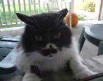 Lengvai įpykęs katinas