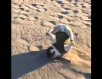 FRENCH BULLDOG RUNNING ON BEACH FAIL