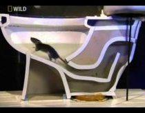 Kaip žiurkės patenka į klozetą