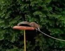 Squirrel Navigates Obstacle Course with Ease | Shows Sign of Intelligence