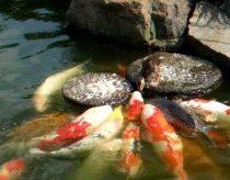 Baby duck feed the carp (Nishiki-Goi, Koi)