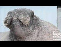 Jūrų vėplys praktikuojasi su savo balsu