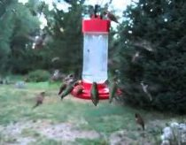 Hummingbird infestation