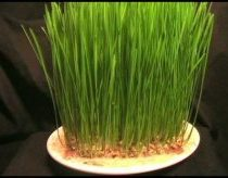 A Time-Lapse: Wheatgrass Growing