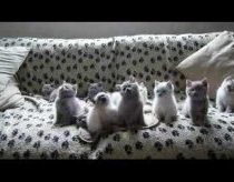 British Shorthair kittens dancing on music