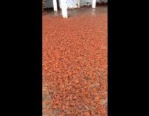 Thousands of tiny red crabs