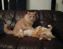 Katinas masažuotojas