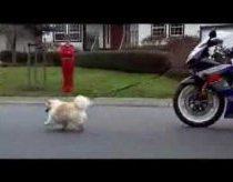 Žmonos šuns vedžiojimas motociklu (ar gali būti smagiau)
