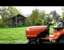 Cool dog mowing lawn