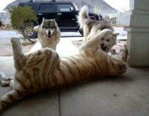 Tigras prieš šunis