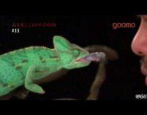 Chameleonas sulėtintai gaudo grobį