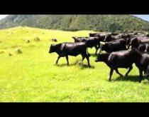 Karvės vaikosi RC mašiną
