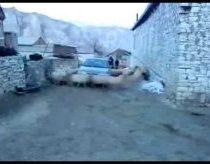 Mašina Nepravažiuoja Pro Būrį Ratu bėgančių Avių