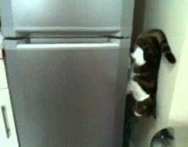 Gravity-defying cat comes down from fridge