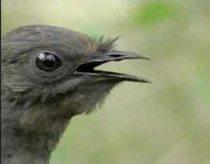 Paukštis gali atkartoti beveik visus garsus (net pačius keisčiausius)