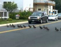 55 Ducks Crossing The Road