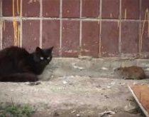 Katinai ir bebaimė žiurkė