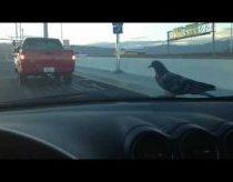 Balandis sėdi ant mašinos ir nesiruošia niekur skristi