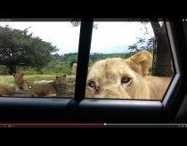 Liūtas dantimis atidaro mašinos duris