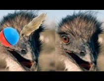 Emu and Ostriches Tango (Emu vs. Weasel Ball)