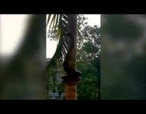 Kaip pitonas lipa į medį