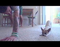 Šuniukas(Čihuahua) užsiima Joga
