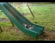 Kittens Playing on a Slide. Who Needs a Treadmill?