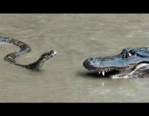 Python vs Alligator 01 -- Real Fight -- Python attacks Alligator