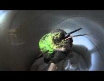 Knarkiantis kolibris