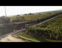 WRC Ralio automobilis nuvažiavo į vyno plantaciją ir...