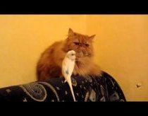 Drąsi papūga nervina katiną