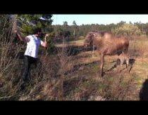 Kai Vyras Susitinka Briedį Švedijos miškuose