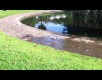 Seagull tap dancing