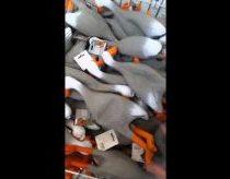 Žaislinių ančių armija