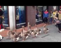 Marching geese - Holland