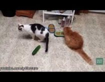 Cats panicly afraid of cucumbers