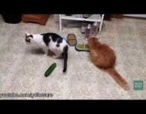 Katės kurios laabai bijo agurkų