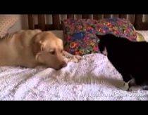 Šunys erzina katinus su savo draugyste