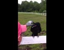 Raven Rescue - perched himself for human help