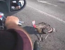 Wild turkey attacks motorcycle in Easton