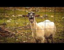 Rėkianti avis
