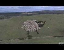 Ekstremaliai profesionalus avių ganymas