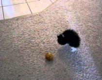 Pakvaišęs Kačiukas Bando Įveikti Kamuolį