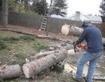 Nupjautas medis atsistoja