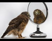 Bird Dance - Little Morepork