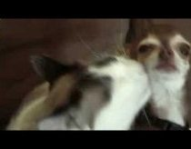 Kitten Still Loves Puppy - puppy licking fail