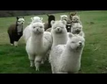 Star Wars Alpacas (or Lama)