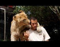 Didelių kačių (liūtų) meilumas